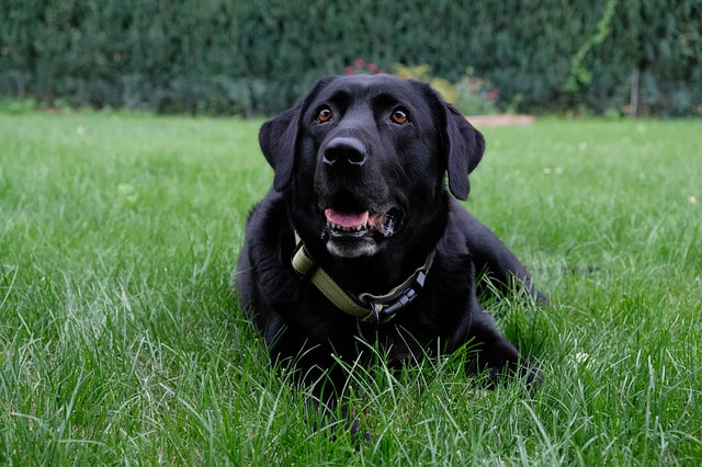 A Black Lab service dog resting in the grass