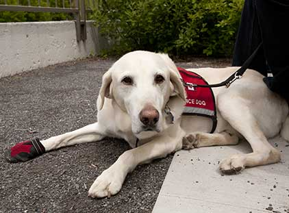 A White Labrador Retriever taking a break during service training exercises