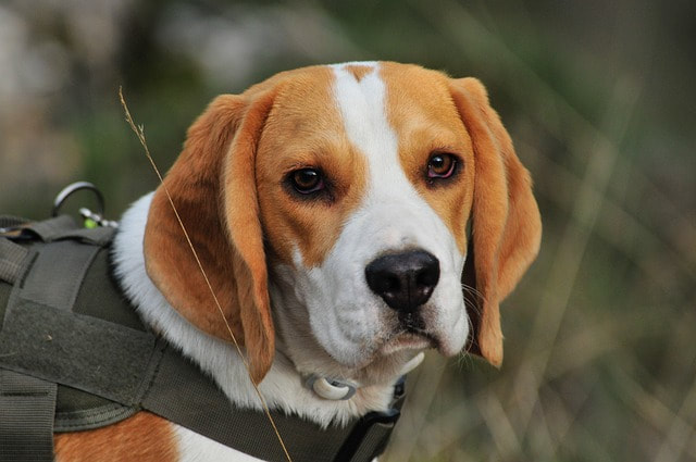 A Beagle service animal during training